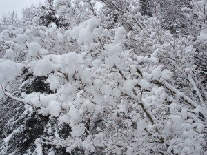 Chinese dogwood where the snow looks like cotton balls or broccoli heads