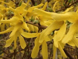 The forsythia is out too.