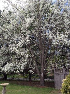And the flowering pear at a distance...
